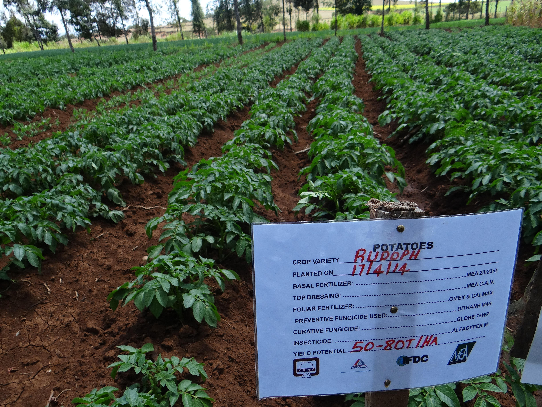 Irish Potatoes, Irish Partners - IFDC