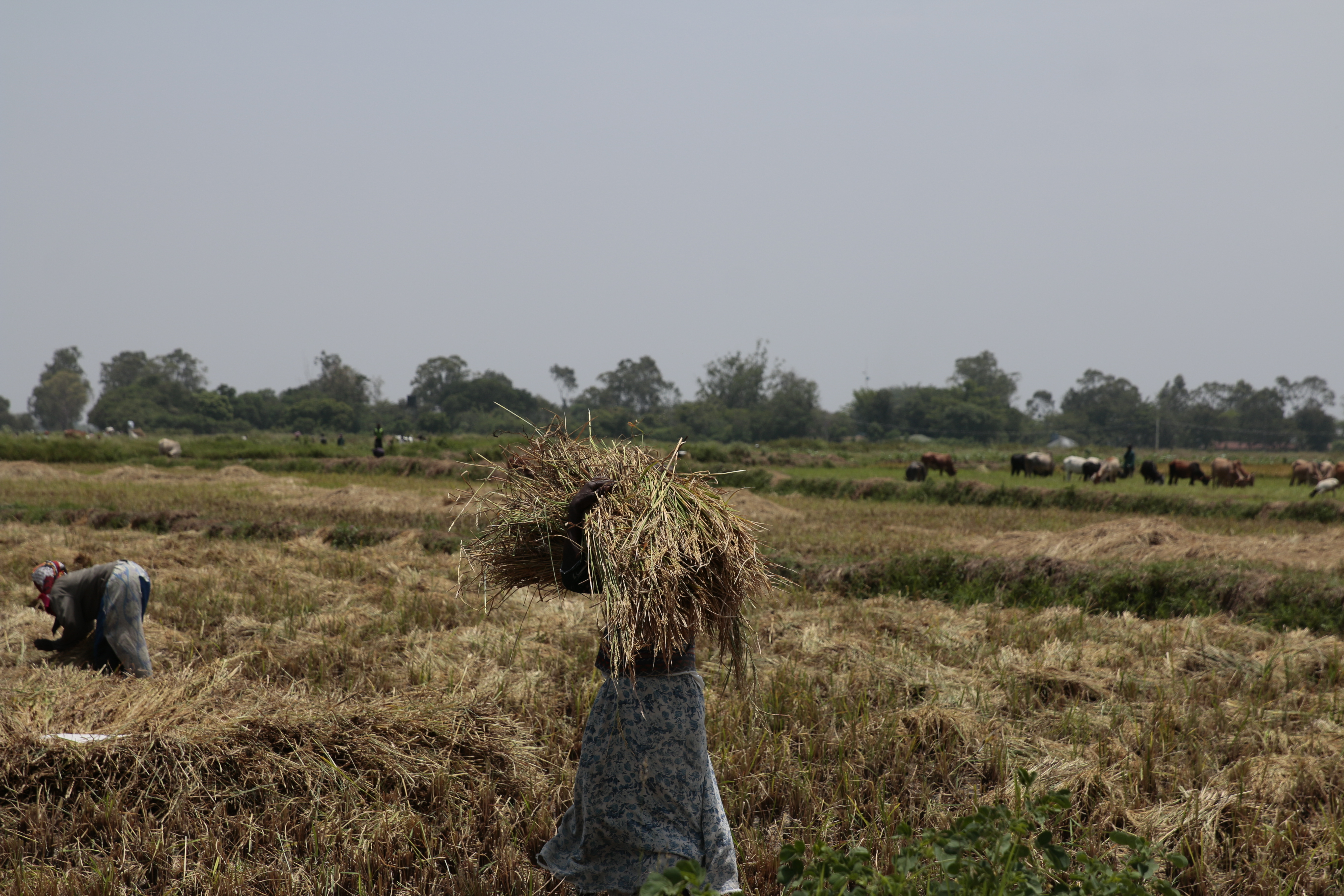 2SCALE farmers have increased yields by 30%.