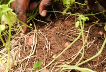 BURUNDI_ISSD_Hands-Showing-Potatoes