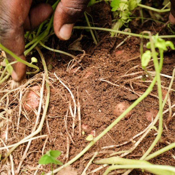 BURUNDI_ISSD_Hands-Showing-Potatoes