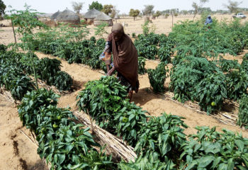 A nigerien woman waters her crops
