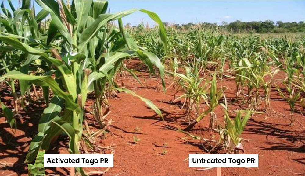 Photo Comparison of maize crop response to application of activated and untreated Togo phosphate rocks_JT