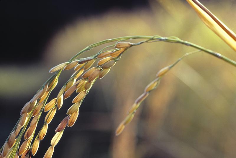 Macro focus of grains of rice