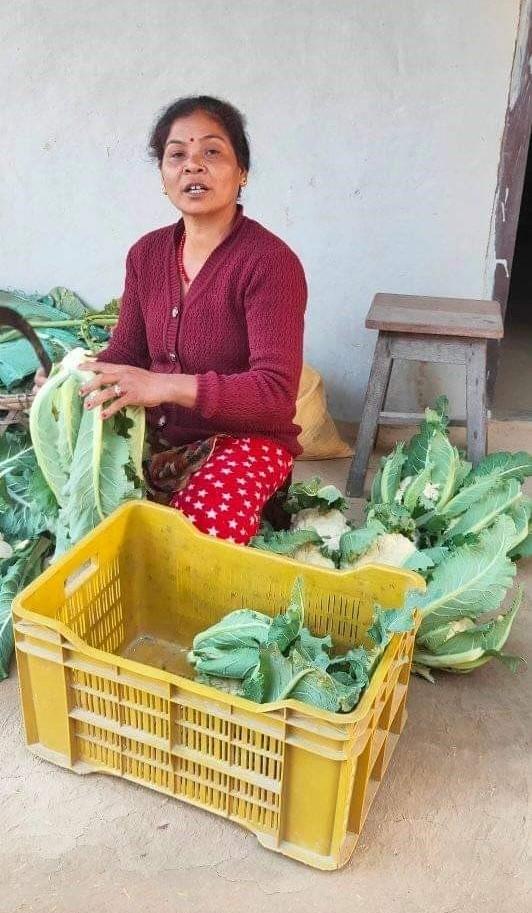 Cooperative member prepares cauliflower for marketing.