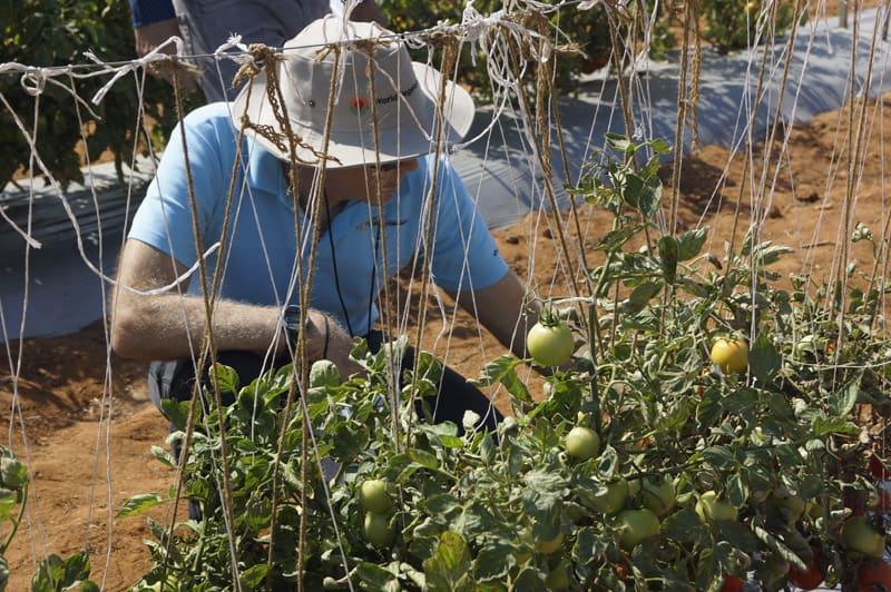 A man examines tomato Plants