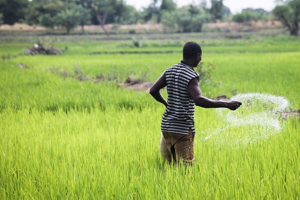 A Ghanaian farmer broadcasts fertilizer in a rice field