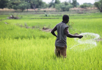 A Ghanaian farmer broadcasts fertilizer in a rice field