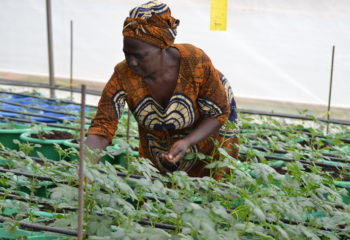 Fidelis Karugaba checks seedlings in her newly constructed Irish potato seed screen house at Karungu village in Mpugu parish Hamurwa sub county Rubanda district.