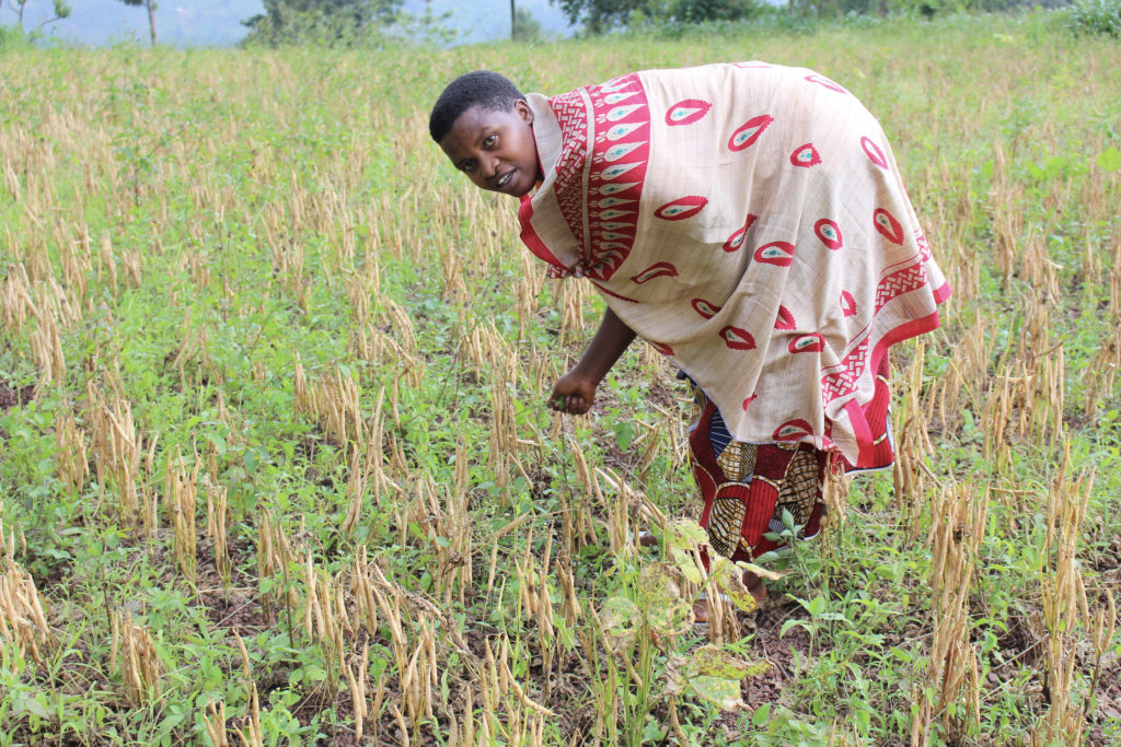 Seed contractor Bernice, from Muyinga, in the bean seed field ready to be harvested
