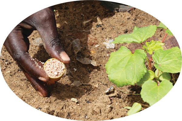 a farmer applies fertilizer by microdosing